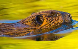 Swimming otter – Swimming through custard